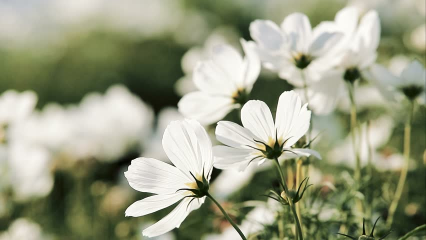 White Cosmos Flowers In Garden Stock Footage Video 100 Royalty