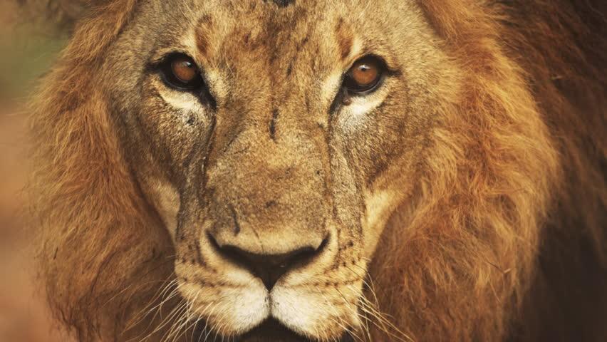 Close up of male lion's face. Filmed in Kenya, Africa.