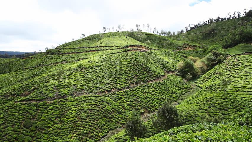 Pan shot of tea plantation on hill, Munnar, Idukki District, Kerala, India