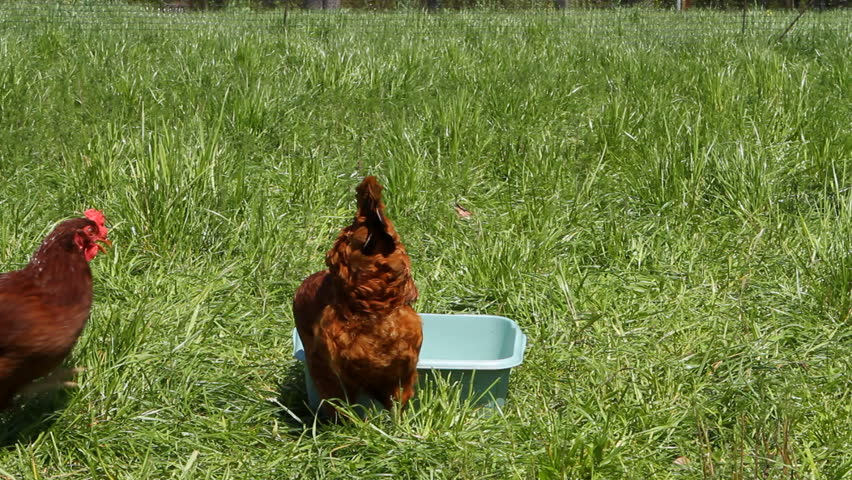 Chickens, egg layer Rhode Island Reds, feed from a plastic tray in a fenced in grassy area.