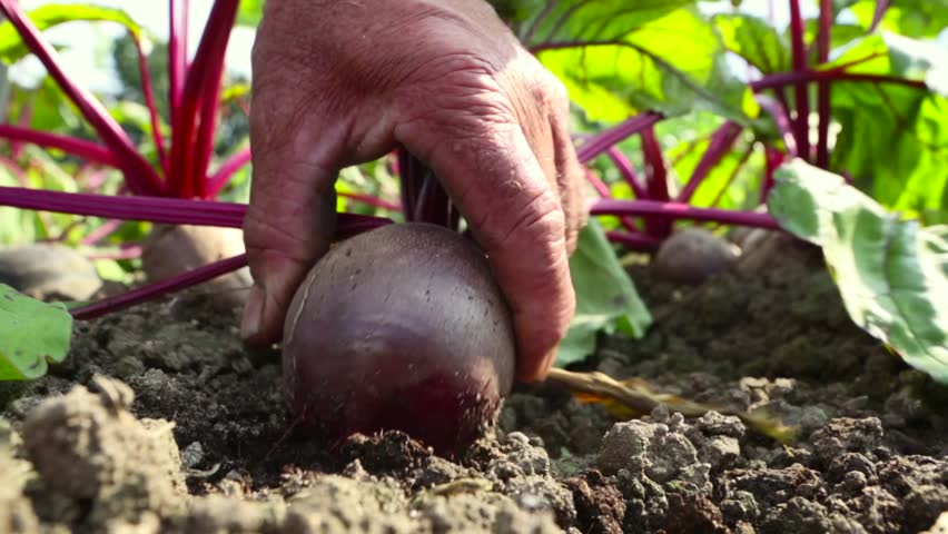 Farmer harvesting a beet from the ground