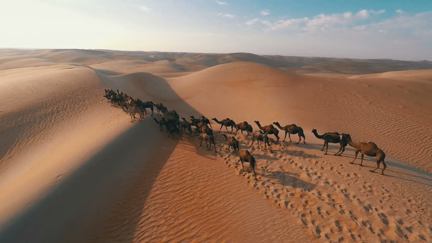 Group of camels being herded over sand dunes in...