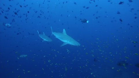 Two Grey reef sharks (Carcharhinus amblyrhynchos) and school of Spotted eagle ray (Aetobatus narinari) swim in the blue water near coral reef, Indian Ocean, Maldives