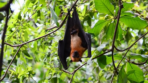 the scary hanging flying fox or fruit bat or hyles bat hang downward from the tree branch while sleeping in the daytime with nice moving and some soundtrack, the vampire look alike
