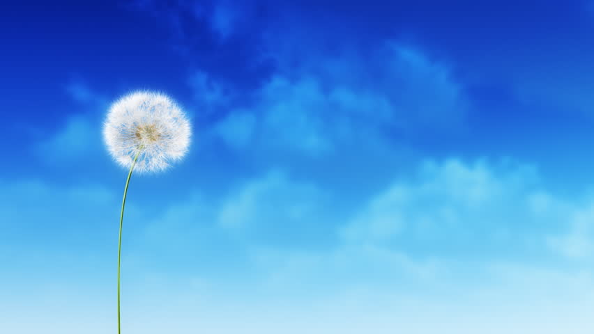 Dandelion Blue Sky. Dandelion on the wind.