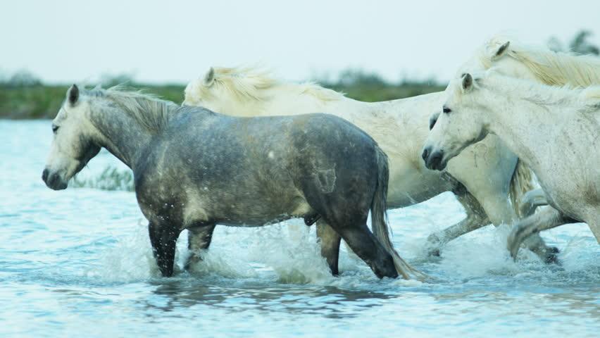 Camargue animal horses France wildlife herd Stallion Gelding water Mediterranean nature coastline outdoors marshland freedom RED DRAGON | Shutterstock HD Video #12292808