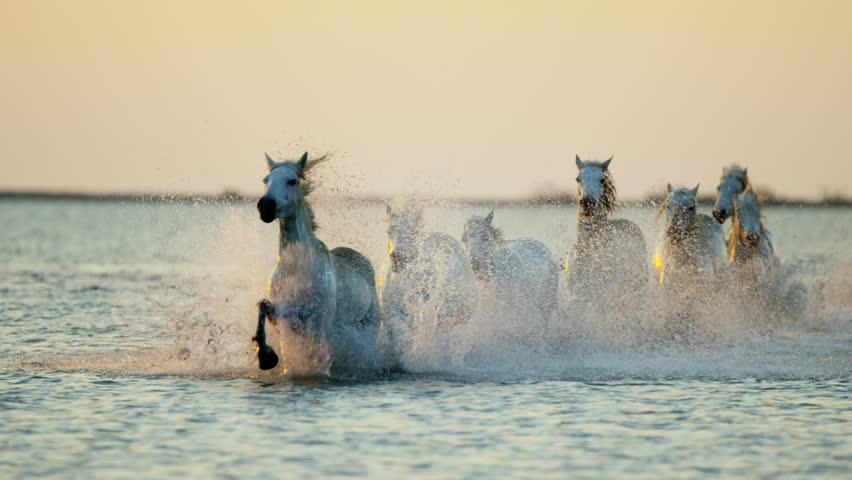 Camargue animal horses France sunrise wildlife herd grey livestock running water Mediterranean nature outdoors marshland freedom RED DRAGON #12292817