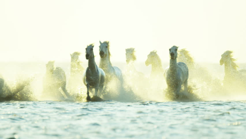Camargue, France animal horse wild white livestock sunrise rider cowboy running water Mediterranean nature tourism travel RED DRAGON | Shutterstock HD Video #12327434