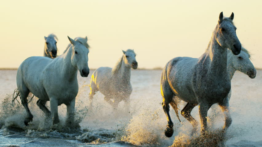 Camargue, France animal horses wild white livestock sunset running rider cowboy water Mediterranean nature tourism travel RED DRAGON | Shutterstock Video #12327599