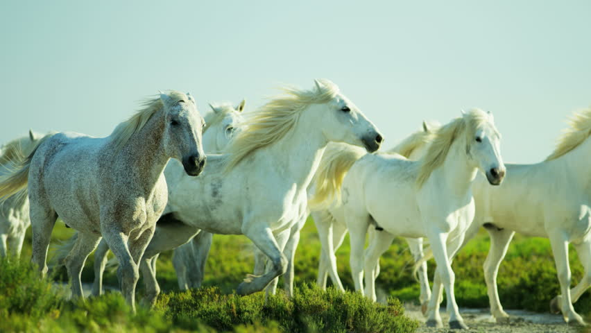 Camargue, France animal horse cowboy rider wild power white livestock grass Mediterranean nature outdoors wetland freedom RED DRAGON | Shutterstock HD Video #12328238