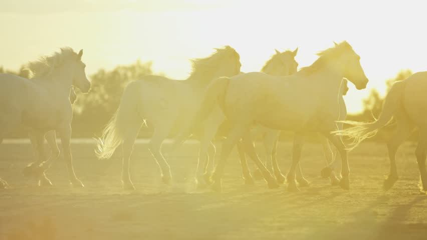 Cowboy Camargue, France animal horses wild grey livestock herd sun flare Mediterranean nature freedom running tourism travel RED DRAGON | Shutterstock HD Video #12328259
