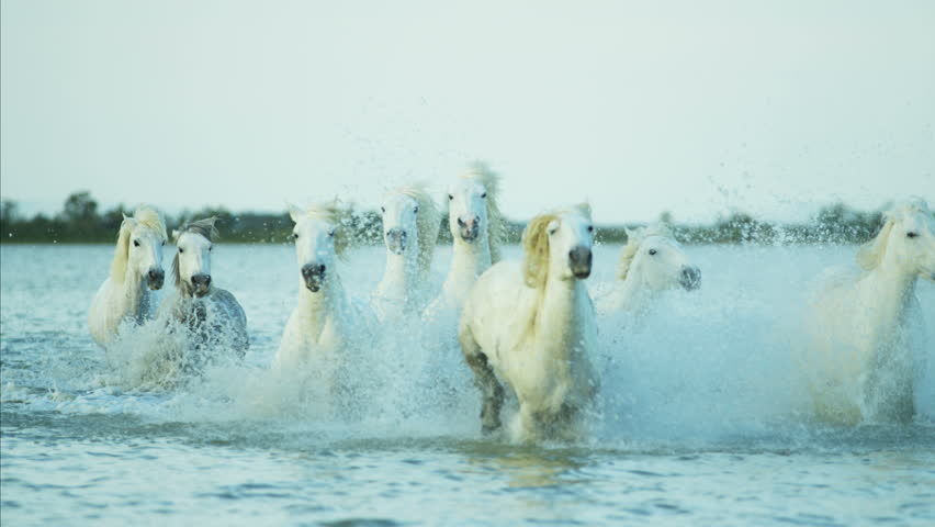 Camargue, France Mediterranean coastline outdoors marshland freedom animal horses wild white water running tourist travel RED DRAGON #12329288