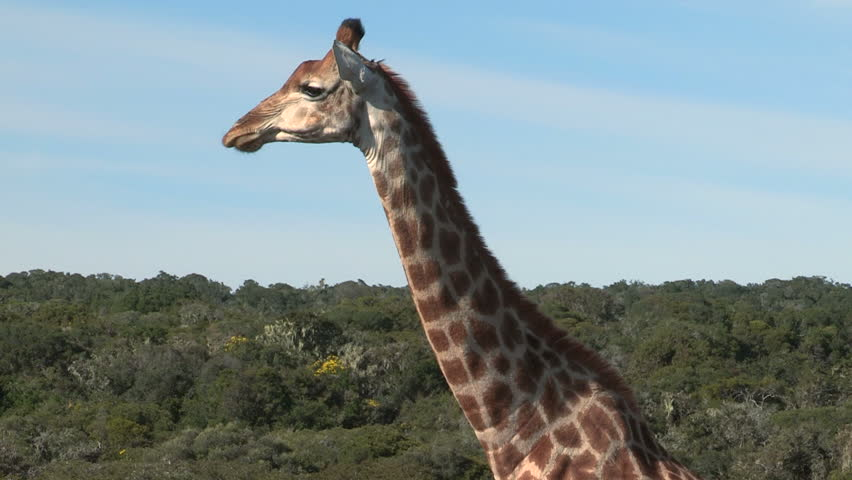 Watch cud ball travel down and up giraffe's neck