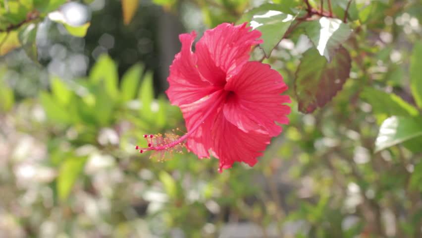 Header of Malvaceae