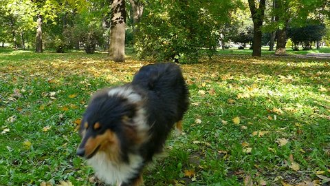 Rough Collie walking in a beautiful park in slow motion, Rough Collie In Slow Motion, Slow Motion Video Clip