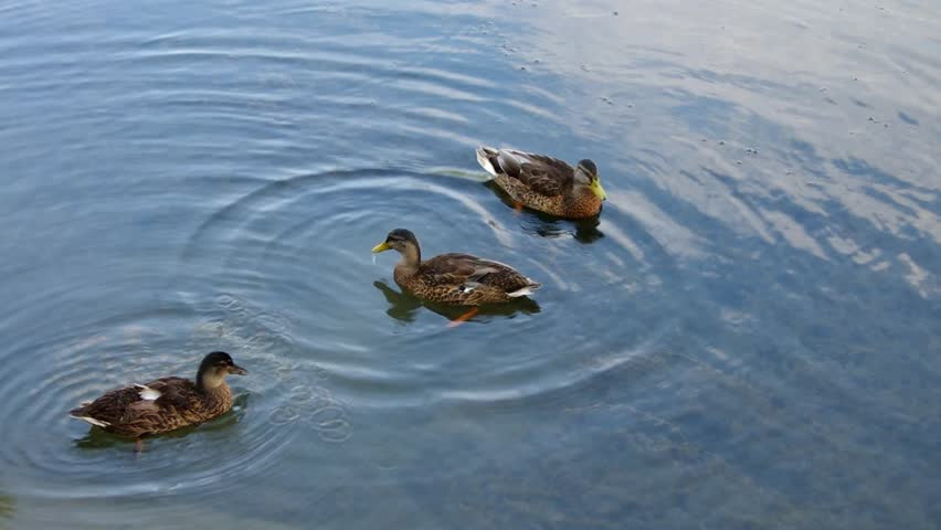 Ducks  | Shutterstock HD Video #12588068