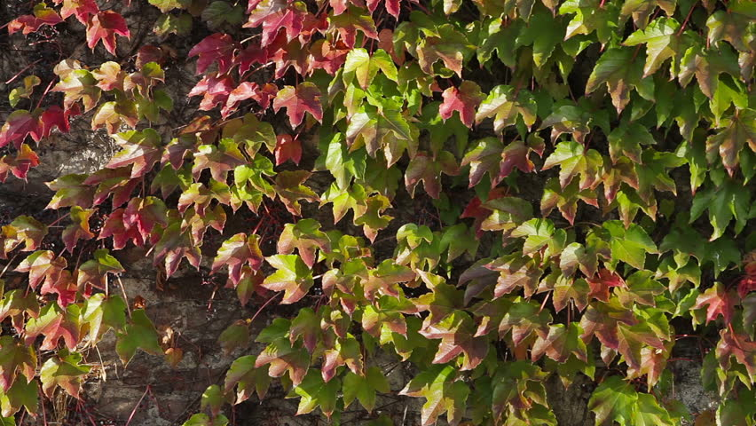 Green And Red Leaves On Outside Building Wall, Wind Blows Softly, Smooth  Pan From