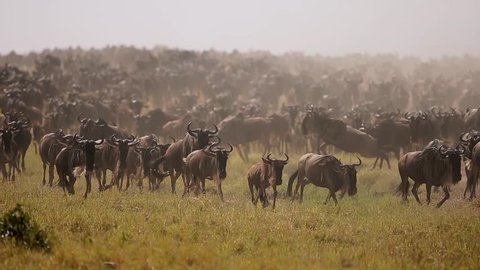 Wildebeest migration in Africa