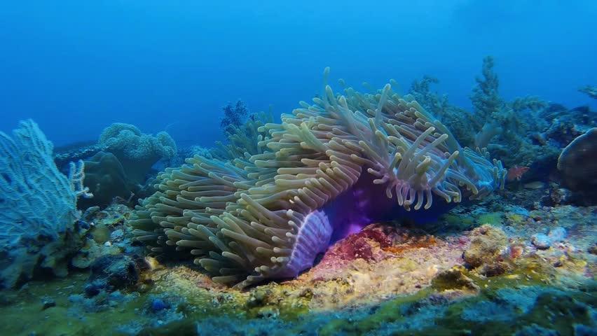 Sea Bottom Of The Sea Fish Seabed Sea: Stock Video Of The Ocellaris Clownfish Swimming