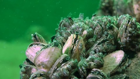 Zebra mussel (Dreissena polymorpha): clams push out its siphons to filter water, close-up, timelapse. Ukraine.