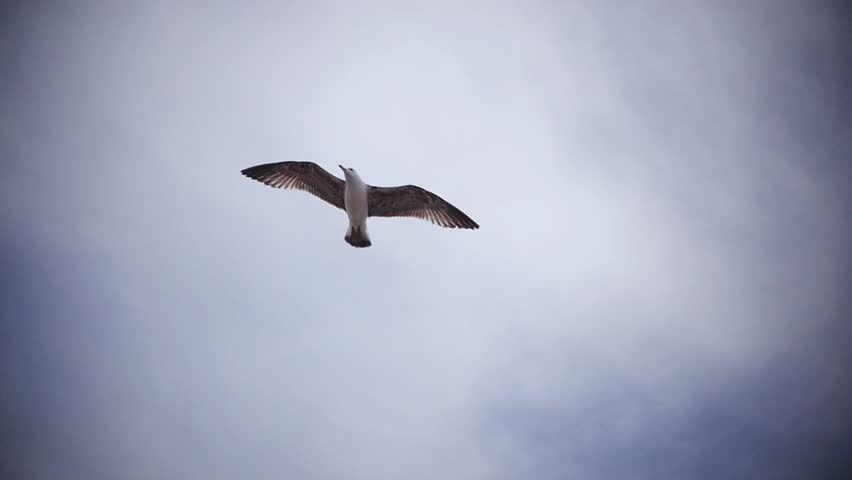 SLOW MOTION: seagull against clouds. Majestic bird's flight. - HD stock footage clip