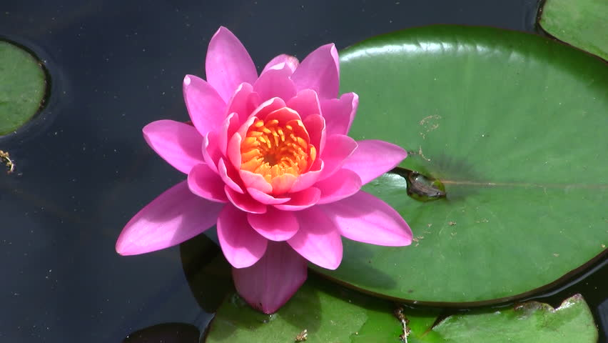 lotus flower time lapse stock footage video   shutterstock, Beautiful flower