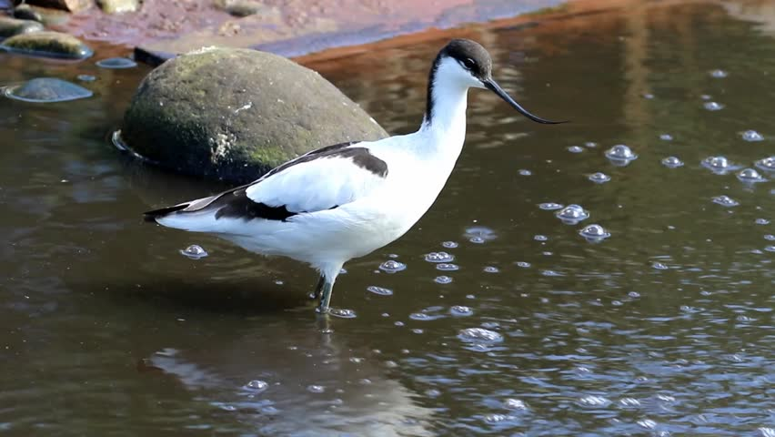 Header of avocet