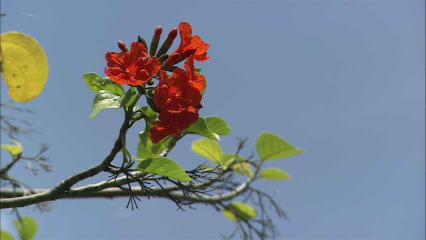 Beautiful Red Flowers In A Tree Surrounded By Clear Blue Sky Guana Island Bvi April 2017
