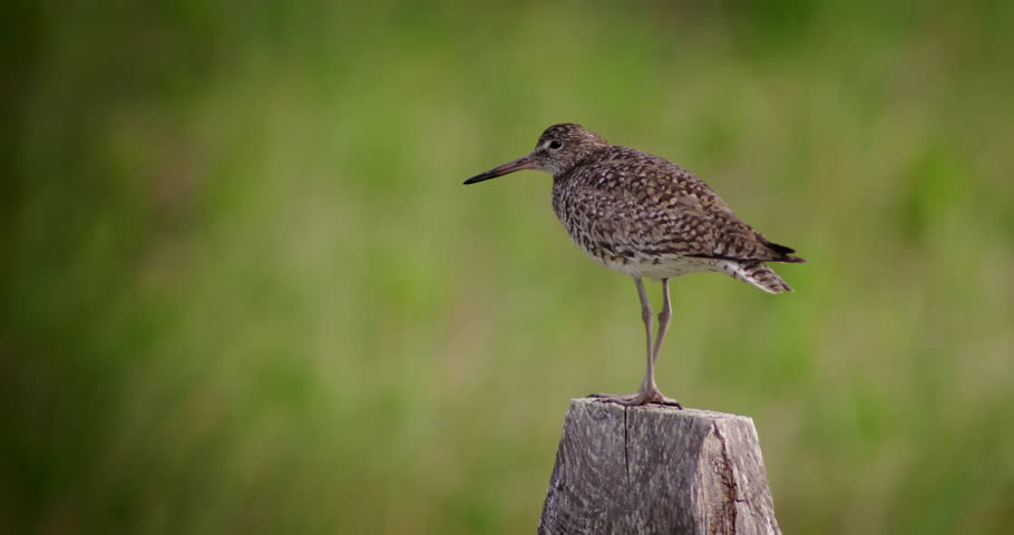 Nice shot of Willet shore bird standing on fence post with green dune grass in the background. | Shutterstock HD Video #12929222