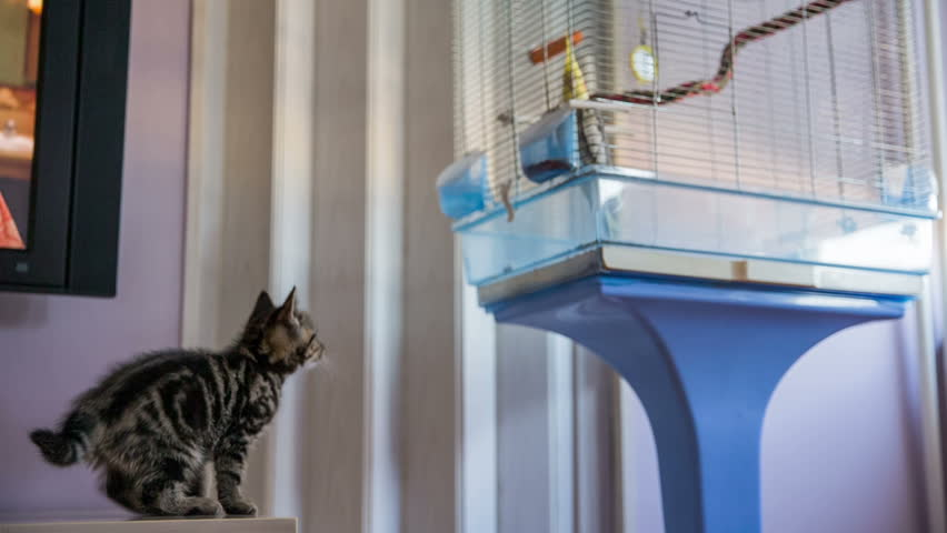 Playful kitten afraid to jump on bird cage. Funny cute baby cat and a yellow Cockatiel bird in cage looking each other. Bird in protected cage.
