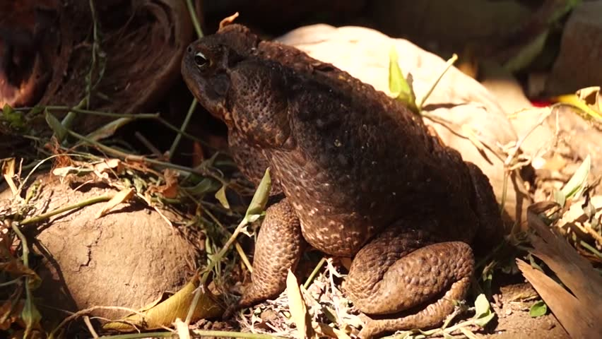 poisonous brown toad under the shade of logs