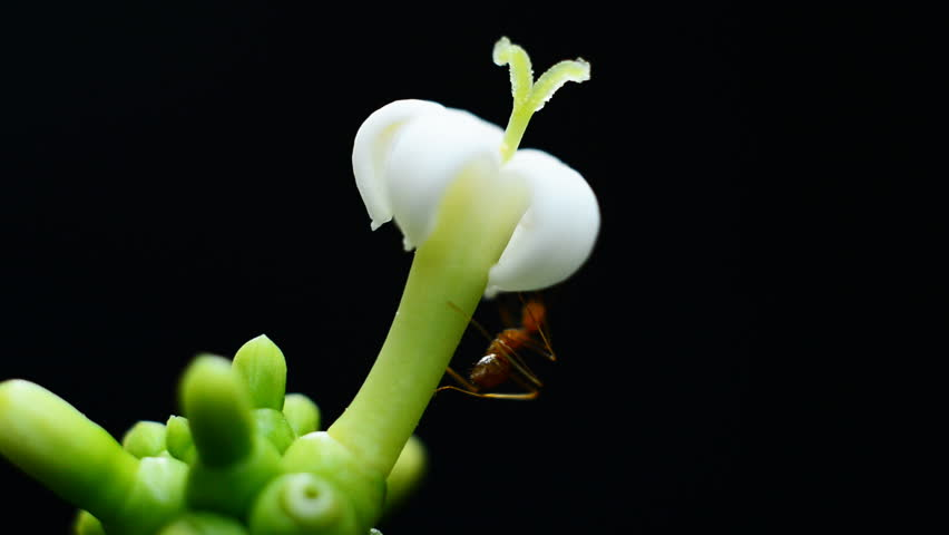 Ant foraging white flowers | Shutterstock HD Video #13128668