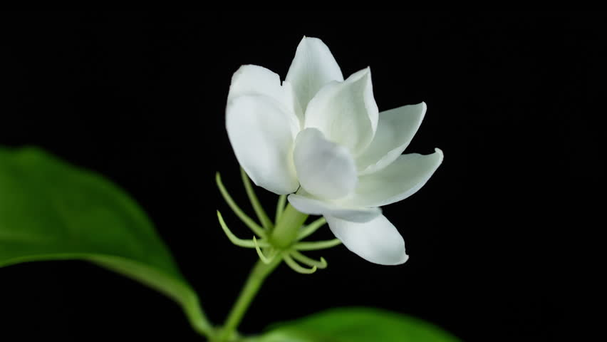 Time lapse of white Jasmine flower blooming on black background