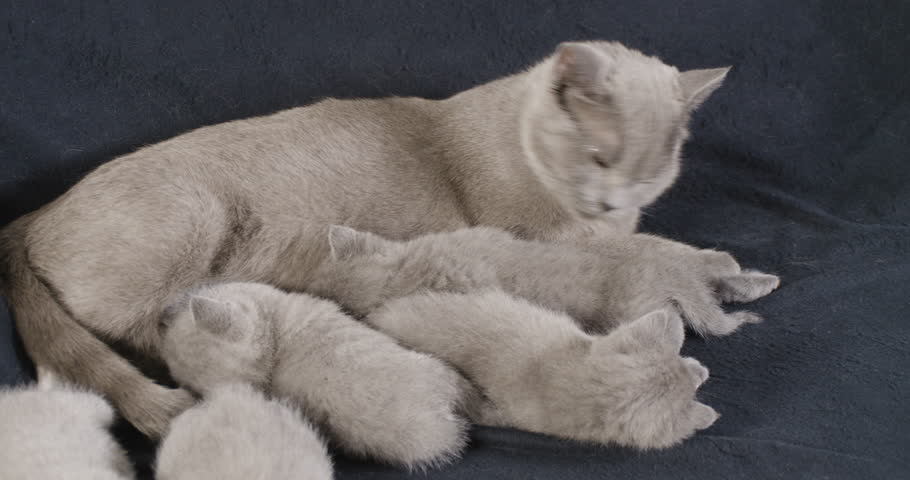 british shorthair kitten feeding guide