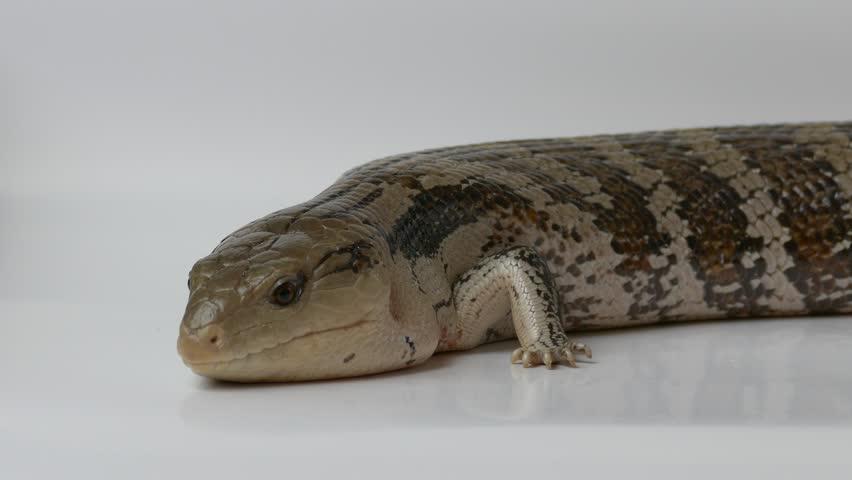 Ungraded: Eastern blue-tongued lizard. Studio shot on white background. Source: Lumix DMC, ungraded H.264 from camera without re-encoding. (av17443u)