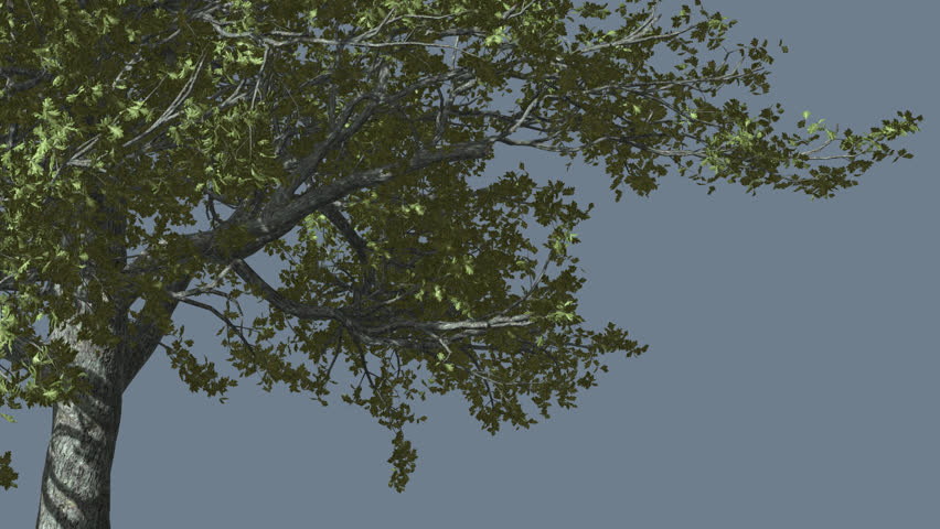 White Oak, The Right Part of Tree is Swaying at the Wind, Tree Cut Out of Chroma Key, Tree on Alfa Channel, Green Tree Leaves are Fluttering on a Crown, Tree in Sunny Day in Summer, Computer #13268594
