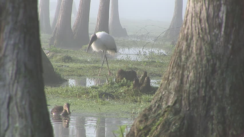 Wood Storks (Mycteria Americana) are the largest birds of Northern America. Early morning in a central Florida swamp. Mottled Duck (Anas fulvigula) is also a Florida native species.