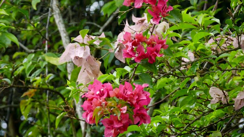 Bougainvillea flower | Shutterstock HD Video #13302098