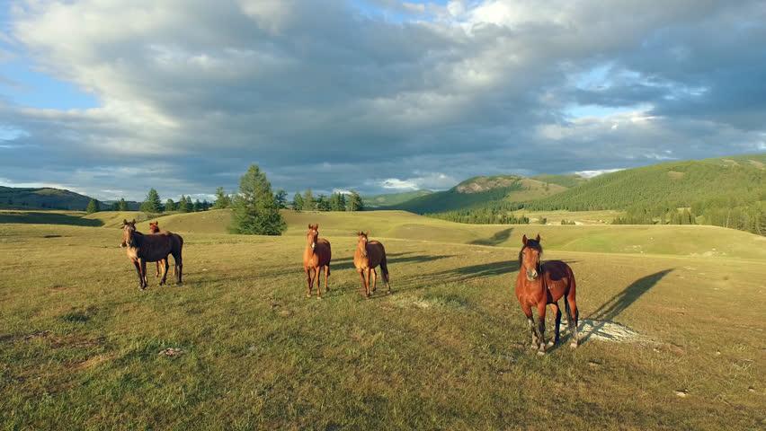 Herd Of Horses Running Fast Down Dirt Hill