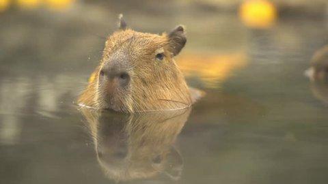 Capybara, Hydrochoerus hydrochaeris in hot citron bath.