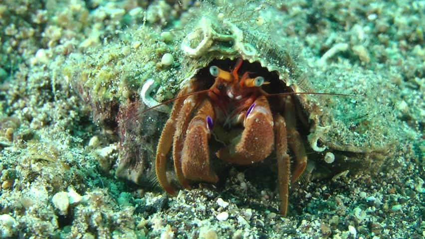 Hermit Crab (Pagurus sp.) in its shell, medium shot.