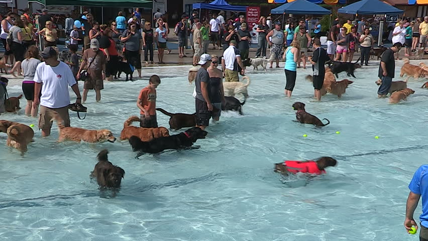 Kitchener, Ontario, Canada August 2014 Dogs Swimming In Pool On ...