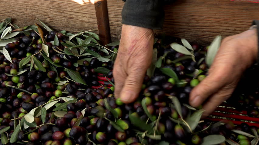Farmers choosing olives to produce olive oil