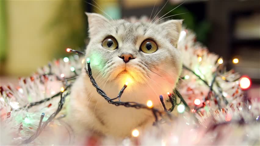 Scottish fold cat with christmas garland and tinsel 1 | Shutterstock HD Video #13598165