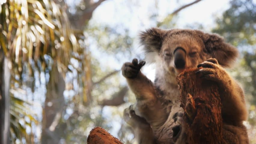 Koala scratching its belly