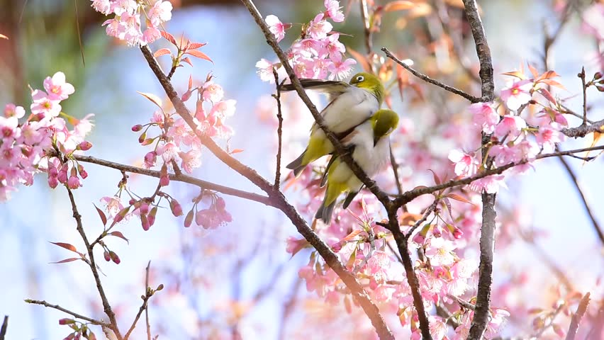 Beautiful Birds With Cherry Blossom Stock Footage Video 100
