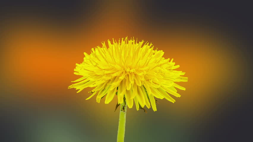 Dandelion time lapse/Dandelion flower blossoming composition/Timelapse video of a yellow daisy flower blossoming with a gerbera flower blossoming int he background
