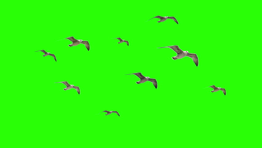 Flying Birds Seaguls on Chroma key #13766828