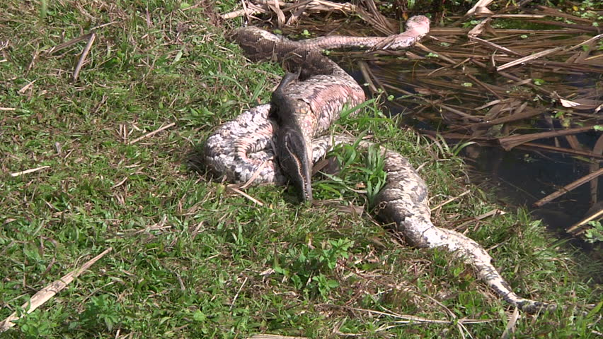 Dead Python and Alligator