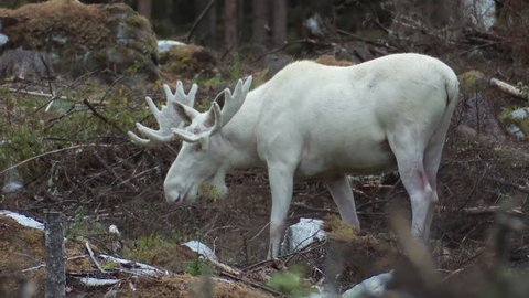 A very rare white moose bull deep within the Swedish forest.